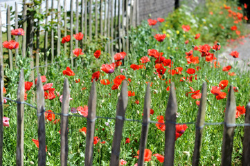 Mitten im Ort Cadzand Bad hat ein Hausbesitzer sich einen Garten mit Mohn gegönnt. Herlich dieser Anblick.
