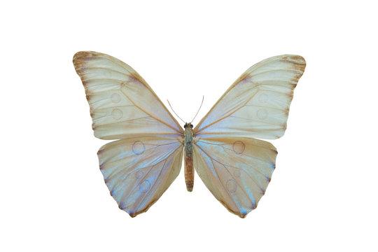 butterfly Morpho aurora