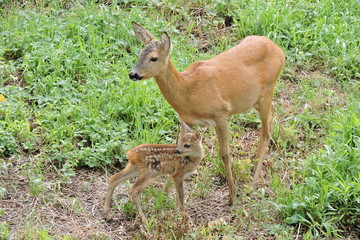 A roe deer and its fawns