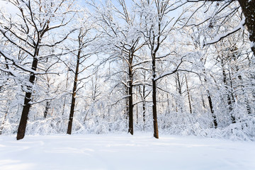 oaks at snow-covered glade in forest in winter