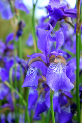 Violet irises on a flower bed in the garden