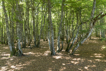 old beech forest in the vosges region in france