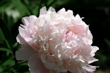 Close-up of a pink peony illuminated by the sun rays in a garden