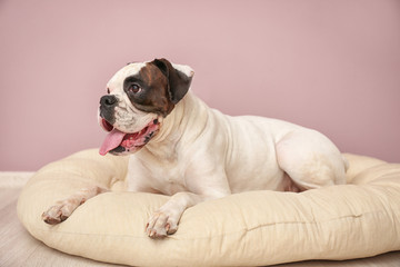 Cute funny dog lying on cushion at home