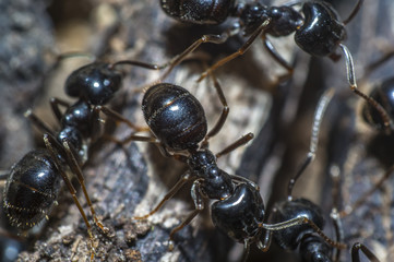 small black shiny ants on an old tree