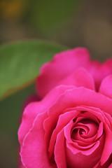 濃いピンクの薔薇の花 クローズアップ