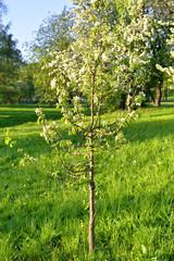 Small apple tree.