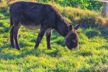 Donkeys on a mountain meadow in the Alps