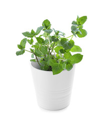 Green mint in pot on white background