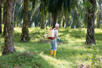 weeds poisoning in oil palm plantations