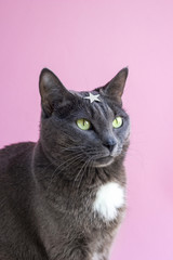 Portrait of gray cat with green eyes and star in forehead on pink background. Funny concept of superhero with copy space. Wonder cat.