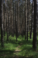 Footpath between pine trunks in forest