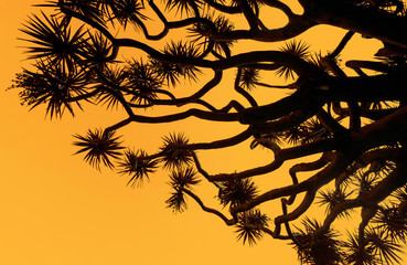 Silhouette of a dragon's blood tree against an orange sunset sky