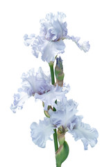 bunch of three silver light blue iris flowers isolated on white background