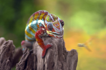 Chameleon about to catch a dragonfly, Indonesia