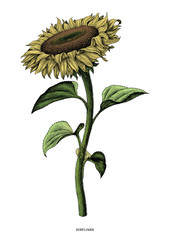 Sunflower hand drawing vintage clip art isolated on white background