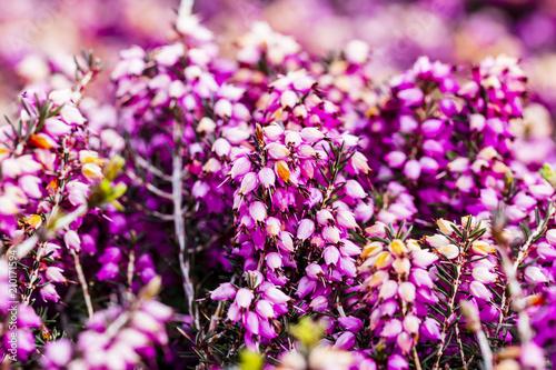 Common Heather Flower Calluna Vulgaris In Pink Or Velvet Color
