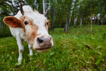 Funny portrait of a cow in a meadow. Shot on a wide-angle lens.