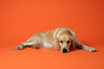 Golden Retirever Rqassehund vor Orangenen Hintergrund