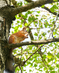 Squirrel sits on birch tree in profile. Moscow, Russia.