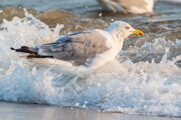 Möwen (Laridae) am Strand der Ostsee. Insel Usedom.