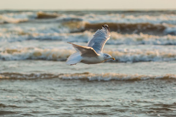 Möwen (Laridae) fliegen am Himmel über der Ostsee. Insel Usedom.