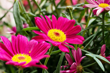 Robinsons Rot - Rote Margerite - Tanacetum coccineum