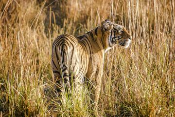 Tiger, Ranthambore National Park