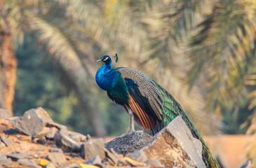 beautiful colorful peacock