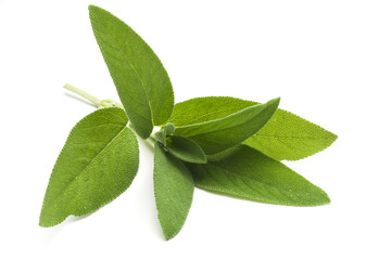 Common sage (salvia officinalis) plant isolated