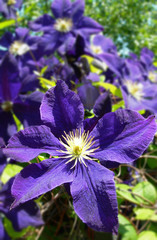 Close-up on clematis flowers in bloom