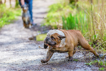 English Bulldog comes dirty out of the water