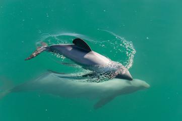 Hector-Delfin-Baby taucht nach Atmen; mit Mutter