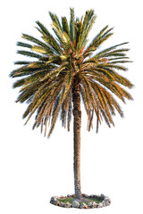 tall palm tree isolated on white