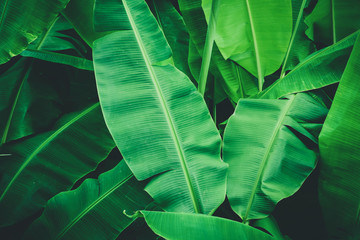 Tropical banana leaves, Nature dark green background