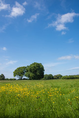 Foto op Plexiglas Weide, Moeras Yellow buttercups and trees in a green field against a bright blue sky