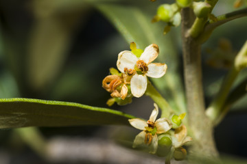 Olivier/fleure d'olivier