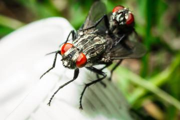 Mating flies.