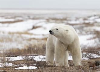 Self adhesive Wall Murals Polar bear Polar Bear in Hudson Bay near the Nelson River