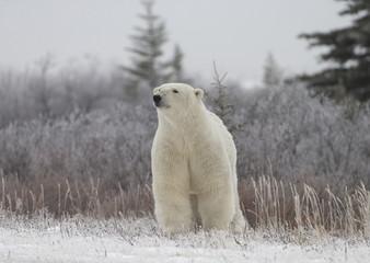 Printed roller blinds Polar bear Polar Bear in Hudson Bay near the Nelson River