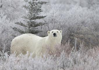 Wall Murals Polar bear Polar Bear in Hudson Bay near the Nelson River