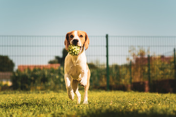 Beagle dog pet with a ball outdoors running with ball