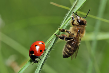 Bee and ladybug sitting on blade of grass.
