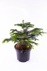 A fir of a nordmannian in a pot