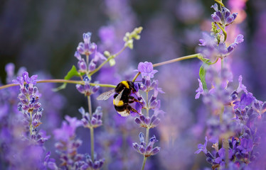Bumble bee collecting nectar and pollen from purple lavender flowers.