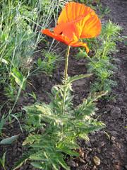 Flowers of the red garden poppy. Flowers of the spring garden in Ukraine. Gardening