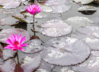 2 bright pink water lilies with monochromatic lily pads floating in a pond at a Japanese garden with copy space