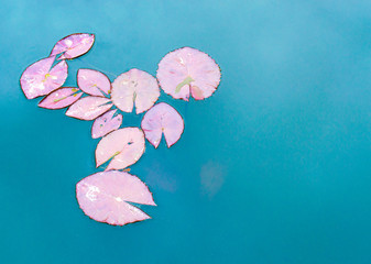 a group of pastel lily pads floating in a turqouise pond at a Japanese garden with copy space