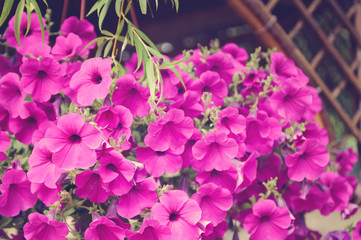 Decorative pink flowers Petunia. Tinting in the style of instagram.