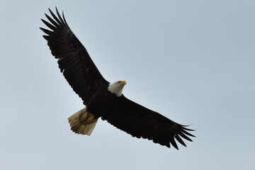 The American bald eagle (Haliaeetus leucocephalus) is the only eagle unique to North America.